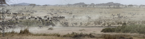 panoramic zebra landscape
