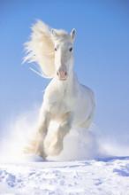 Étalon blanc de chevaux galopent au point avant