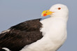 Portrait Great Black-backed Gull (Larus marinus)