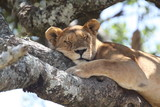 lioness resting on tree