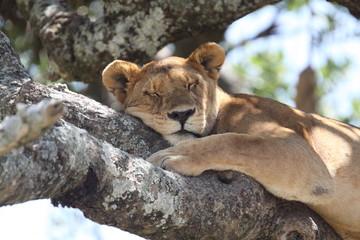 lioness resting on tree
