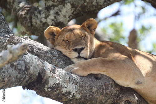 Fotobehang Zebra lioness resting on tree