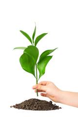Children hand putting a plant in ground