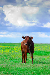 Brown calf on the field