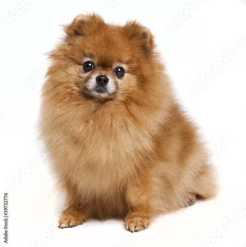 Pomeranian in a studio