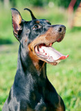 portait of wonderful purebred  black doberman