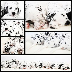 Dalmatien puppy