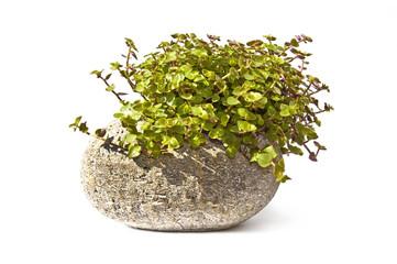 Plante verte dans une pierre, fond blanc