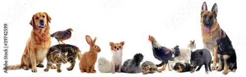 Foto op Canvas Kip groupe d'animaux domestiques