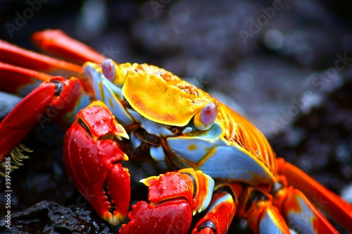 Close-up of a Red Rock Crab - 39743586