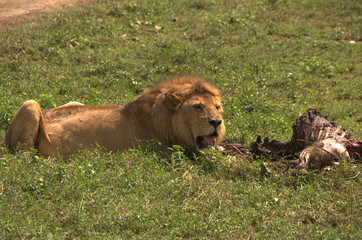 Wild lion and his catch in the Serengeti
