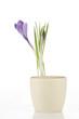 Purple crocus on white