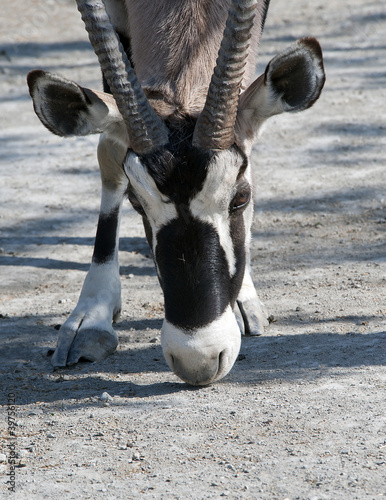 Close up of a Scimitar Horned Oryx