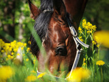 portrait of grazing bay horse  around yellow flowers