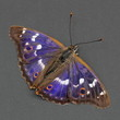 Butterfly - Lesser Purple Emperor over dark grey. Close-up