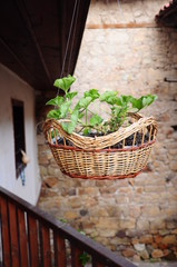 Green plant in a hanged cane basket