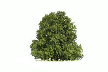 Baum - freigestellt