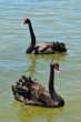 Wildlife and Animals - Black Swan