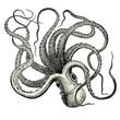 Pieuvre (Octopus vulgaris)