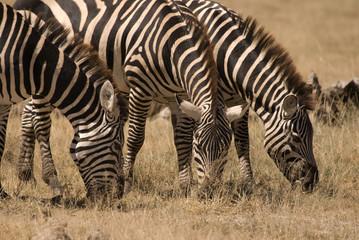 Zebra at Amboseli National Park, Kenya