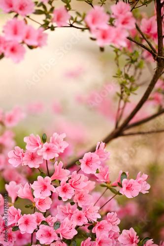 Różowy azalia