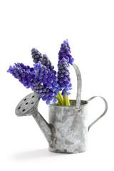 muscari or grape hyacinth