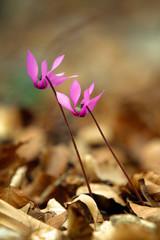 Ciclamino in fiore