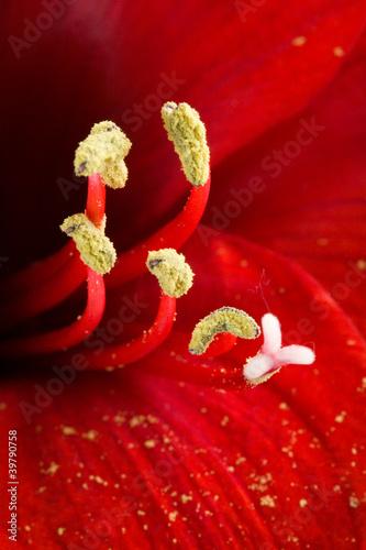 Obraz na Szkle Amarilis in fiore