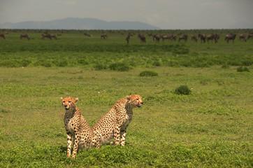 Wild cheetahs and wildebeest, Serengeti