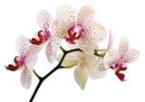 schöne Orchidee - 39806330