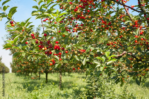 cherries  orchard