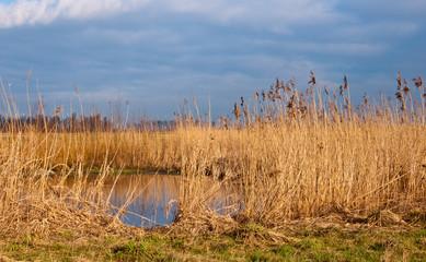 Yellow reeds in Dutch wetlands