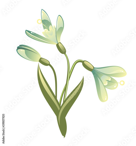snowdrops isolated on white