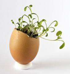 Garden cress growing in an egg shell