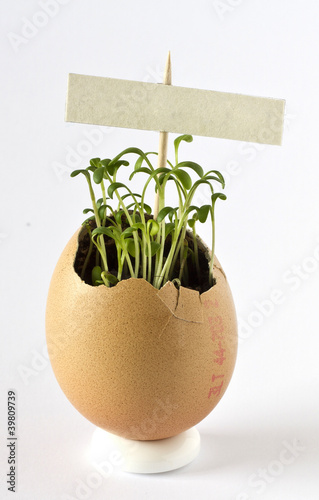 Garden cress growing in an egg shell