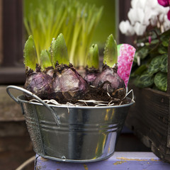 bulb of hyacinth in the pot