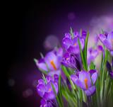 Fototapety Crocus Spring Flowers Design over Black