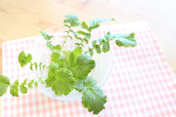 Japanese radish green leaves