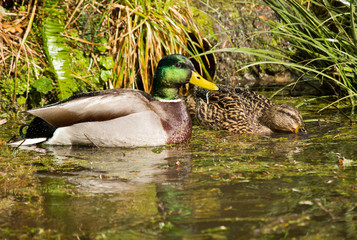 Mallard Duck in Pond