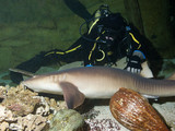 courageous diver and Nurse shark (Ginglymostoma cirratum)
