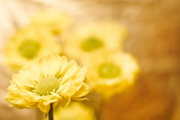 Beautiful spring chrysanthemum flowers on yellow background