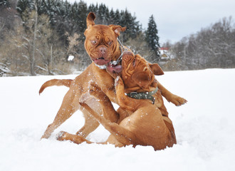 dogue de bordeaux play