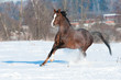 Welsh pony stallion in winter runs gallop