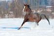 Welsh pony stallion in winter runs gallop