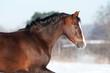 Welsh pony portrait in winter