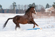 Welsh brown pony stallion runs gallop, winter