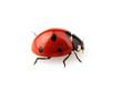 Beauty ladybug