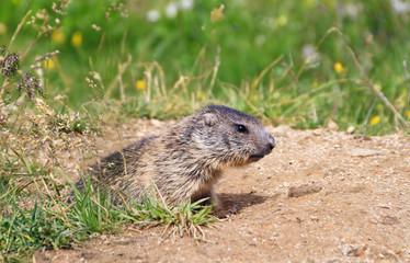 cucciolo di marmotta - baby marmot