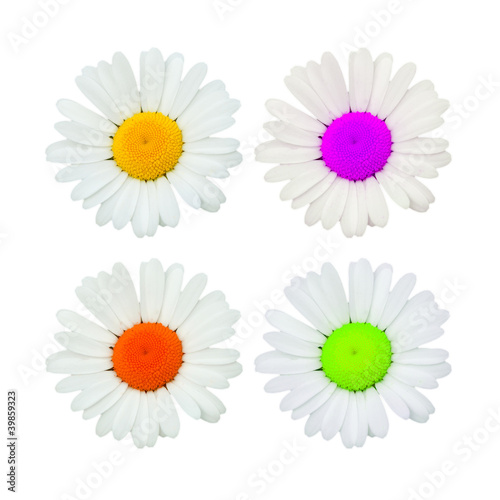 Daisy coloured flowers isolated on white, toned images