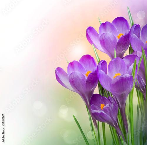Foto op Aluminium Krokussen Crocus Spring Flowers